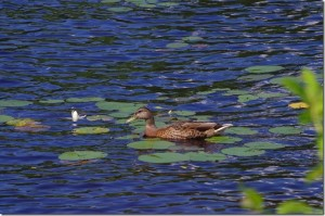 Huntsville Wildlife - Duck - photo Robert Seymour, rf2667@cogeco.ca
